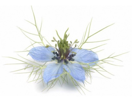 Fennel Flower (Nigella Sativa)